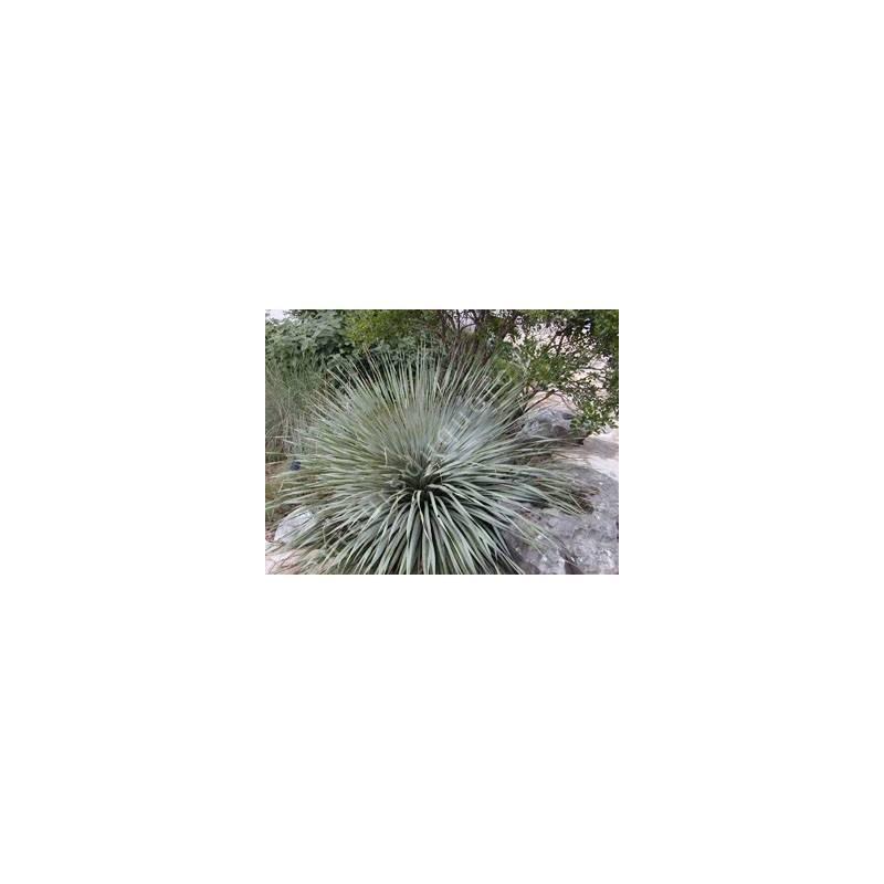 Dasylirion wheeleri - Dasylire de Wheeler