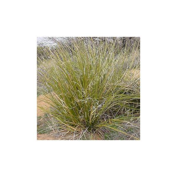 Nolina microcarpa, Herbe des ours