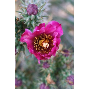 Opuntia imbricata - Oponce - Tree cholla
