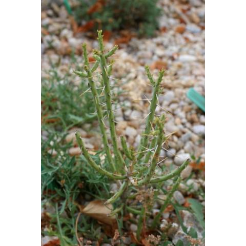 Opuntia leptocaulis - Oponce