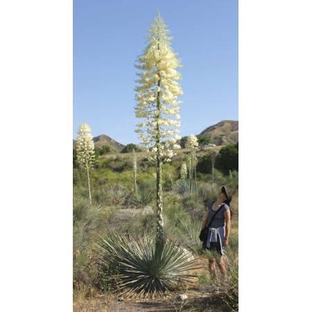 Yucca whipplei
