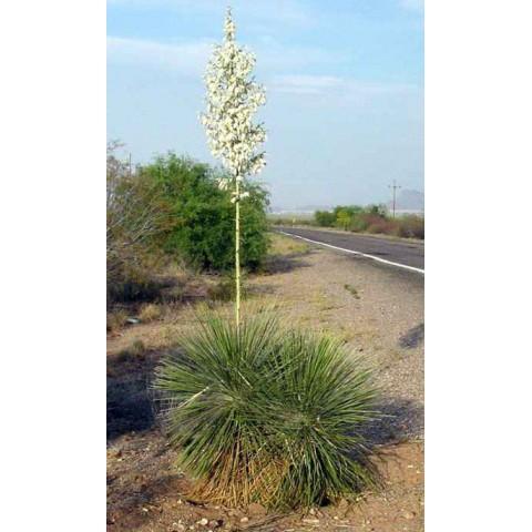 Yucca elata - Arbre à savon
