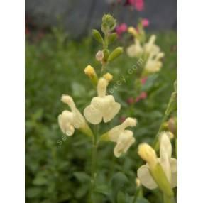 Fleur de Salvia greggii 'Sungold' - Sauge de Gregg jaune