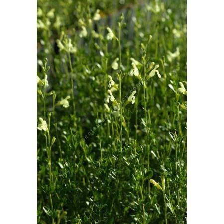 Salvia greggii 'Sungold' - Sauge de Gregg jaune