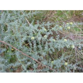 Asparagus acutifolius - Asperge sauvage