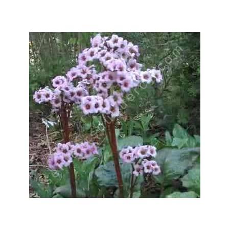 Bergenia cordifolia, Bergénie, plante des savetiers