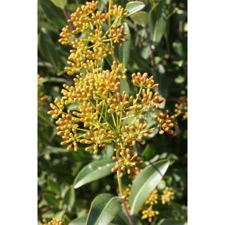 Bupleurum fruticosum, Buplèvre ligneux