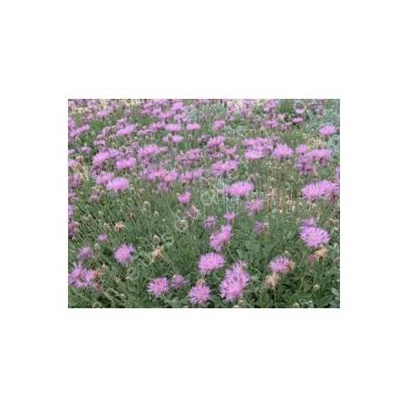 Centaurea bella - Centaurée Elégante