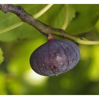 Figuier 'Bourjassotte Noire' - Ficus carica violette de Solliès