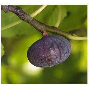 20 figuiers en vente achat arbre fruitier de jardin sec. Black Bedroom Furniture Sets. Home Design Ideas