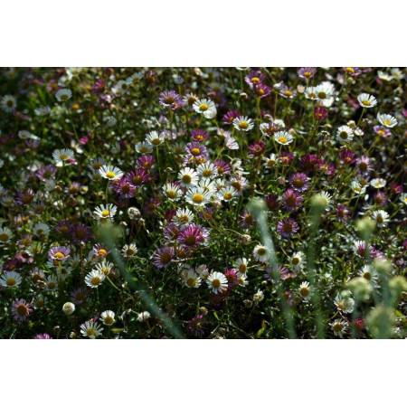 Erigeron karvinskianus - Pâquerette des murailles