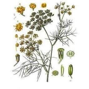Foeniculum vulgare 'Purpureum' - Fenouil bronze