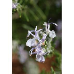 Rosmarinus x lavandulaceus
