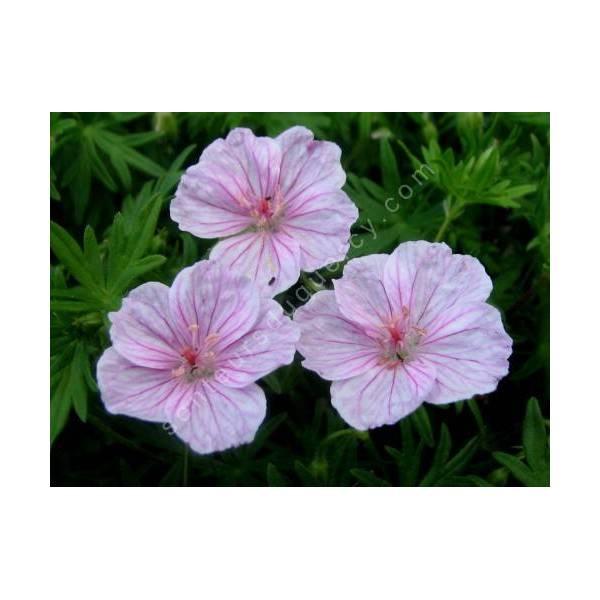 Geranium sanguineum var. striatum - Géranium vivace