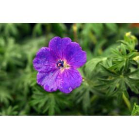 Geranium sanguineum, Géranium sanguin