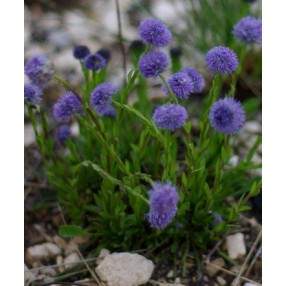 Globularia vulgaris - globulaire commune