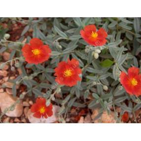 Helianthemum 'Fire Dragon' - Hélianthème