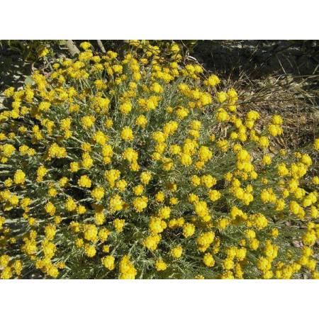 Helichrysum stoechas, Immortelle des dunes