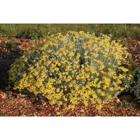 Helichrysum 'Miel & Curry', Immortelle