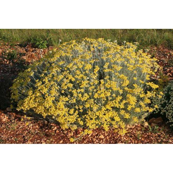 Helichryse herbe curry helichrysum italicum plante for Plante curry