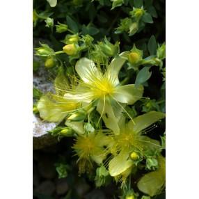 Hypericum olympicum 'Citrinum', Millepertuis de l'Olympe