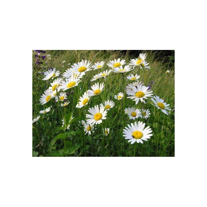 Leucanthemum vulgare - Marguerite commune