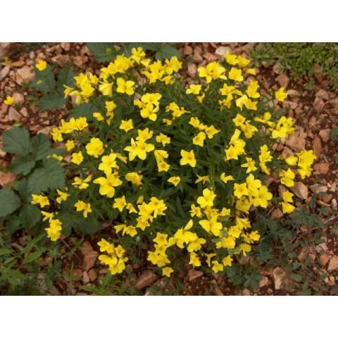 Linum flavum - Lin jaune