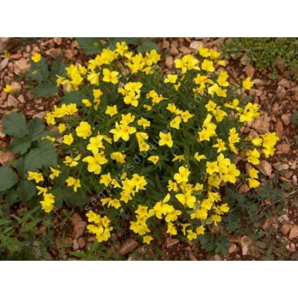 Lin jaune linum flavum vente de plante vivace pour for Plante jaune