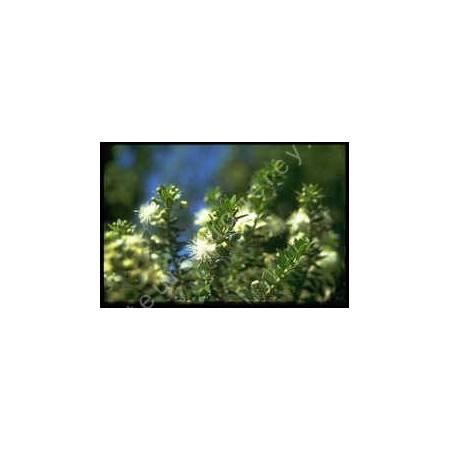 Myrtus communis subsp. tarentina - Myrte de Tarente