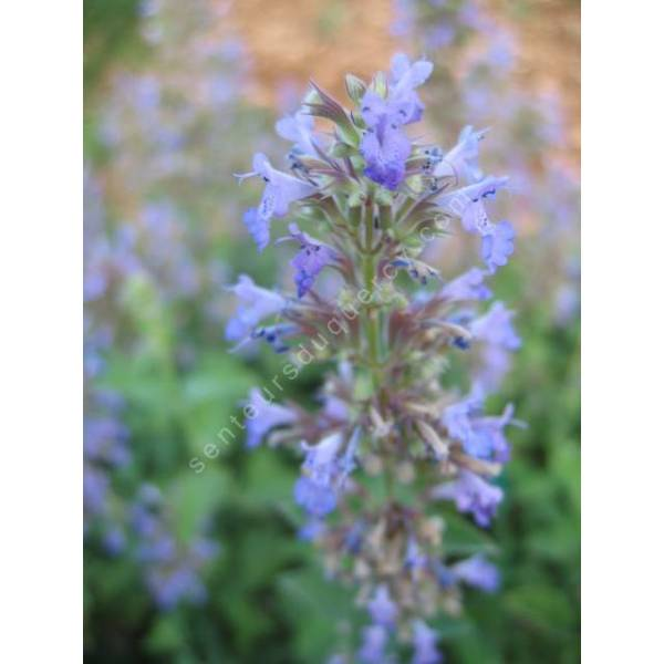 Nepeta x faassenii herbe chat plante vivace pour jardin sec - Herbe a chat plante ...