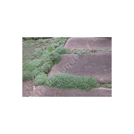 Achillea crithmifolia - dallage