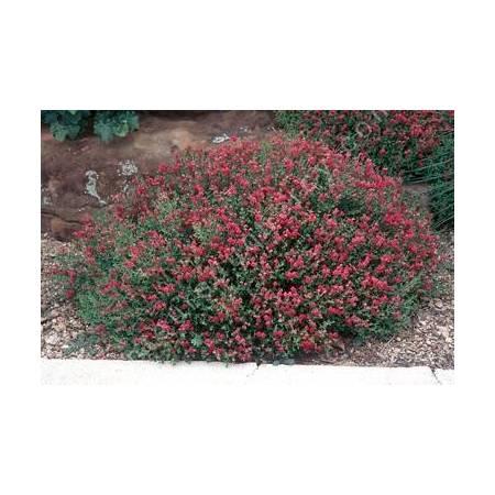 Scutellaria suffrutescens, Scutellaire