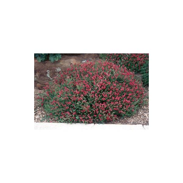 Scutellaria suffrutescens - Scutellaire