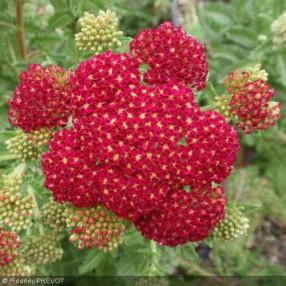 Achillea millefolium 'Red Velvet', Achillée millefeuille