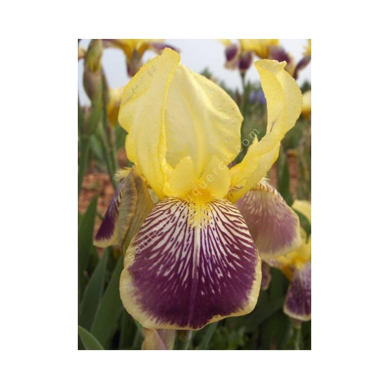 Iris 'Nibelungen'