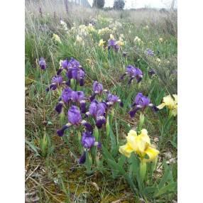 Iris lutescens - Iris des garrigues