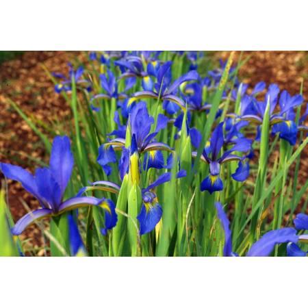 Iris spuria subsp. maritima
