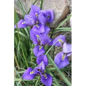 Iris unguicularis 'fleur violet foncé' - Iris d'Alger
