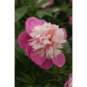 Paeonia 'Bowl Of Beauty' - Pivoine herbacée