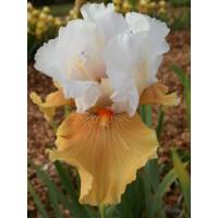 Iris 'Amber Snow'