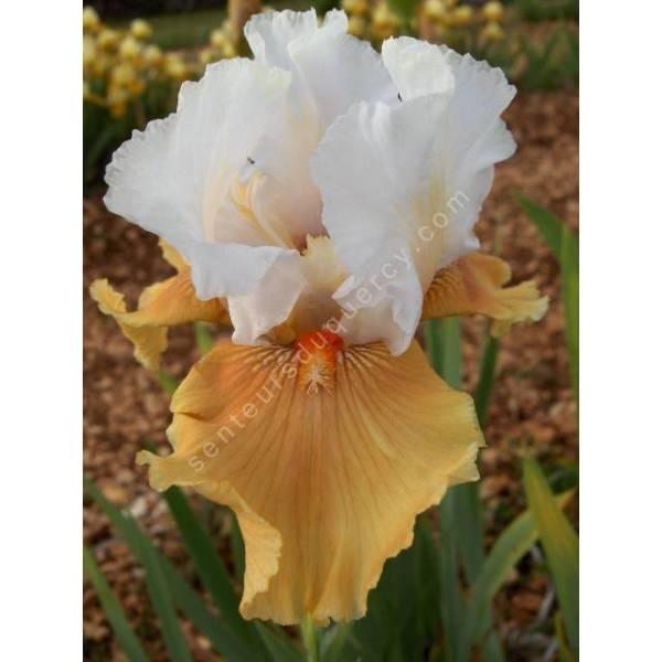 Couleurs chaudes de l'iris 'Amber Snow'
