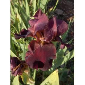 Iris 'Avenging Angel'