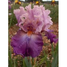 Iris 'Brekeke'