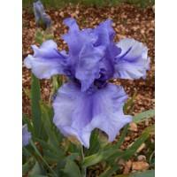 Iris 'Bye Bye Blues'
