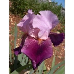 Iris 'Camelot Rose'