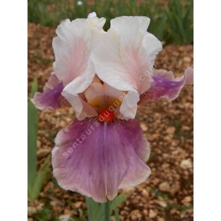 Iris 'Chinese Treasure'
