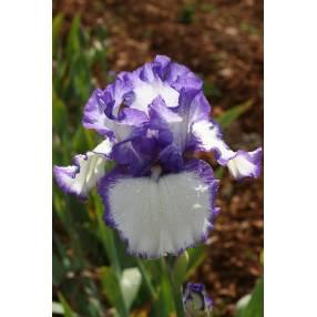 Iris 'Classic Look'