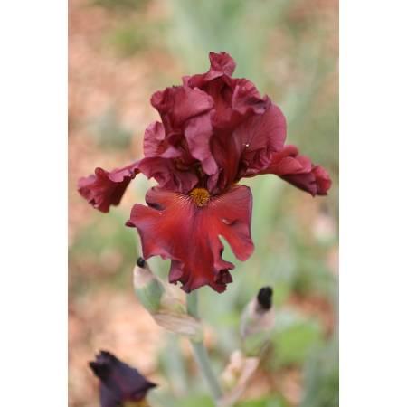 Iris 'Dynamite'