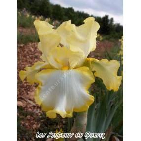 Iris 'Eastertime'