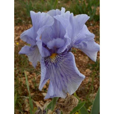 Iris 'Fancy Fellow'